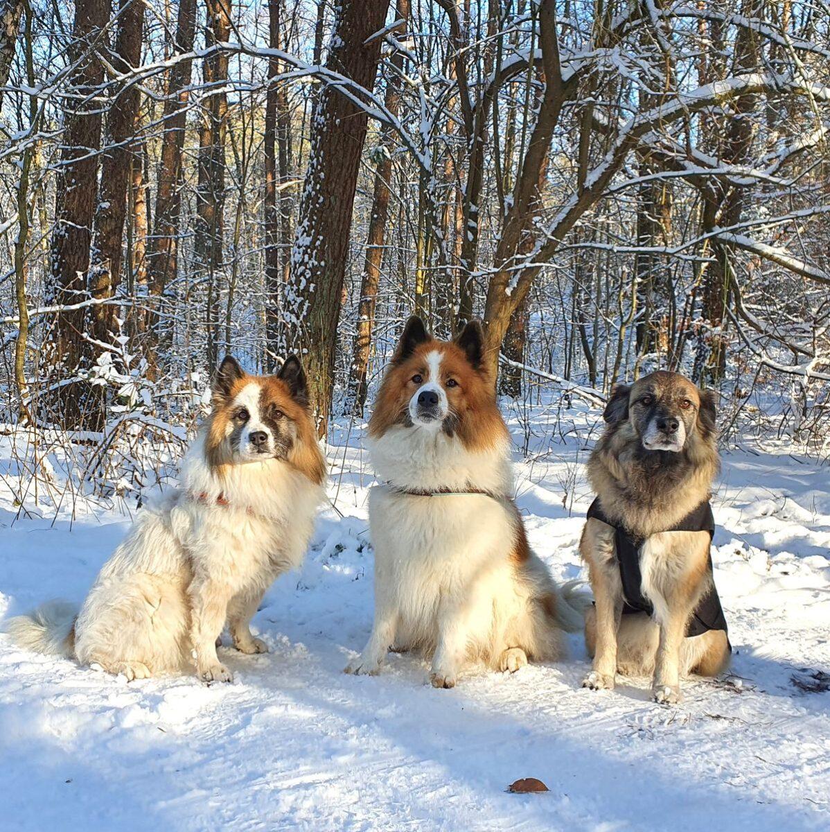 Hunde Jaz, Koda und Paul - 2 Elos und 1 Hütehundmischling