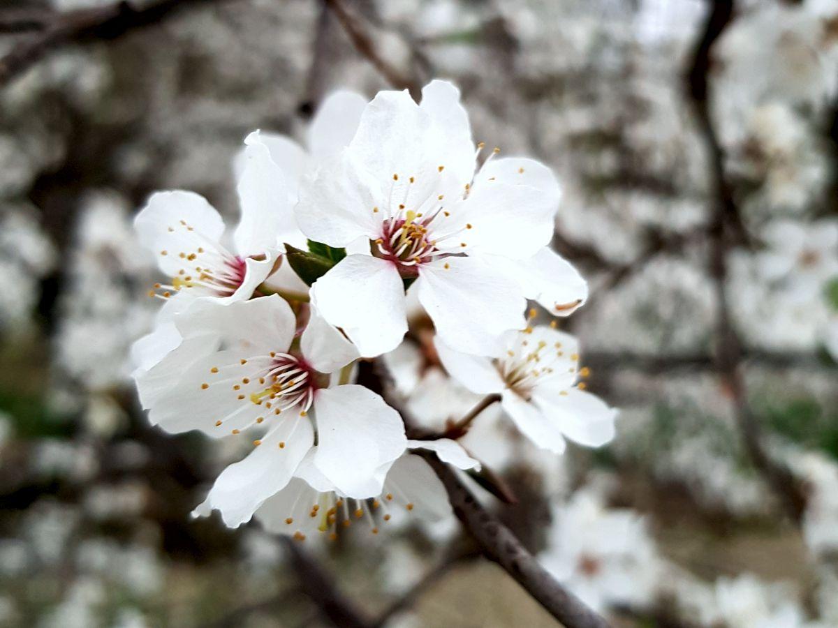 Zierobstblüte weiß