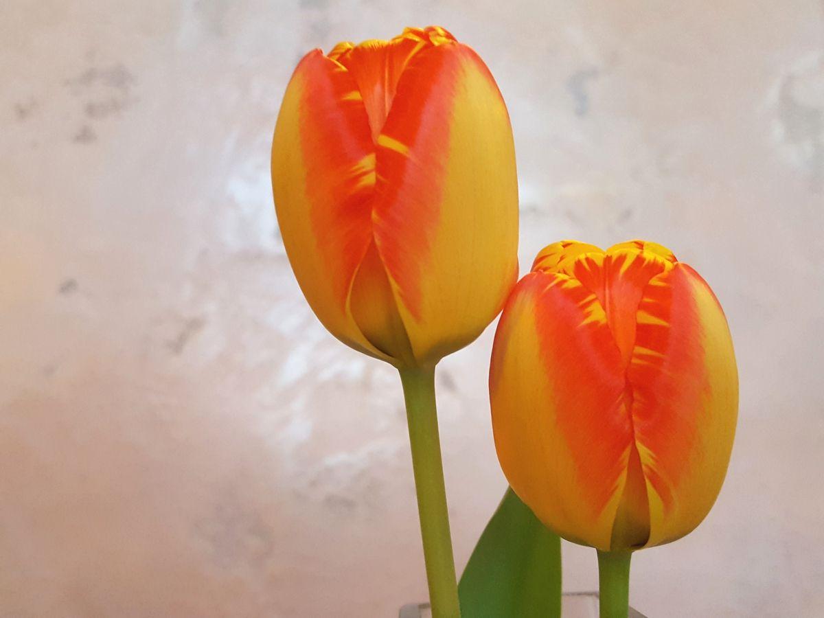 Tulpen orange-gelb