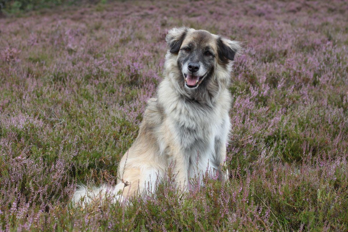 Heideblüte mit Hund Paul