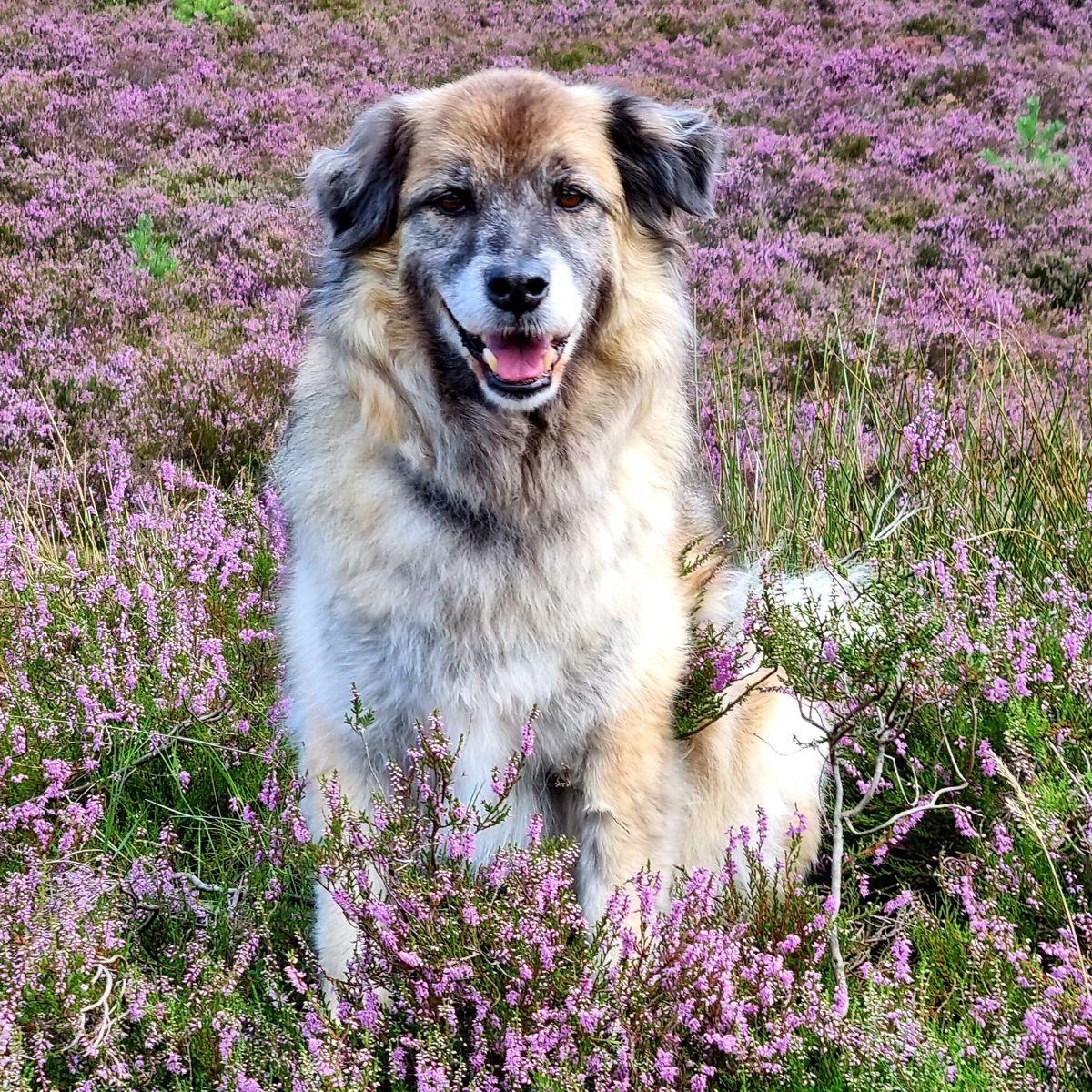 Heideblüte mit Hund Paul 2021